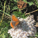 Small Copper on the Yarrow