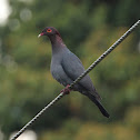 Red-necked Pigeon