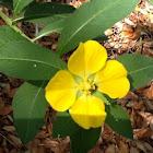 Large flower Primrose-Willow