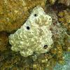 Sponge. Esponja dorada