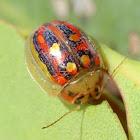 Glorious winter leaf beetle