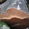 Crust fungi sp.