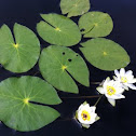 Pygmy water lily