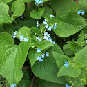 I used to call this Forget-me-not