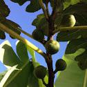 Honey Fig