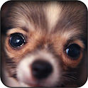 Chihuahuas Wall icon