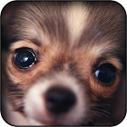 Chihuahuas wallpapers icon