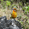 Hepatic tanager (Young male)