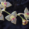 Stelis orchid