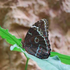 Beautiful butterfly by Sebastian Mezei - Animals Insects & Spiders ( butterfly )