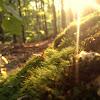 Leucobryum Moss