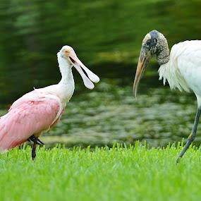 Gossip by Bo Chambers - Animals Birds ( bird, stork, nature, communication, wildlife, pink, wil, wood stork, spoonbill, roseate spoonbill )