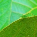 Grasshopper / Katydid
