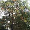 Grevillea robusta (Pino de oro)