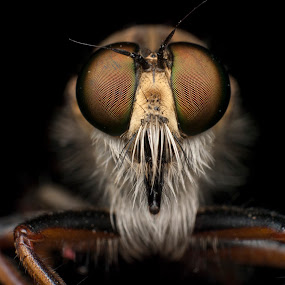 Robberfly by Jeremy Mendoza - Animals Insects & Spiders ( macro, reverselens, insect, robberfly,  )