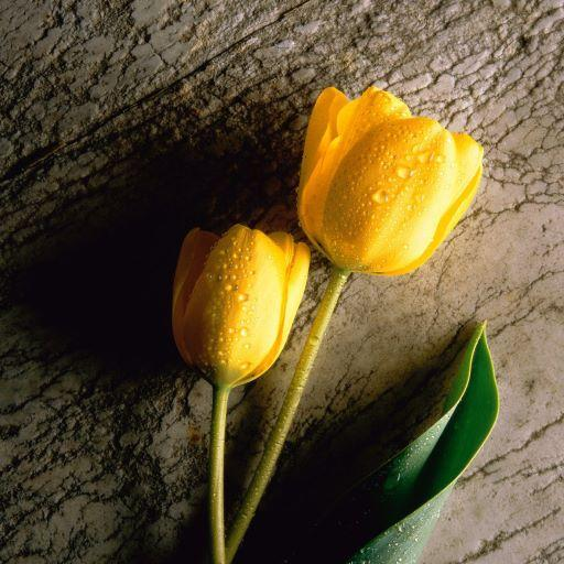 Tulips Free Live Wallpaper