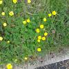 yellow woodsorrel