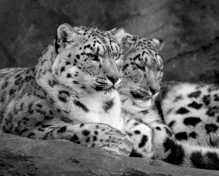 Snow Leopard by Ralph Harvey - Black & White Animals ( wildlife, ralph harvey, snow leopard, marwell zoo, animal )