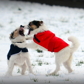 Playing by Chris Brian Hollingworth - Animals - Dogs Playing (  )