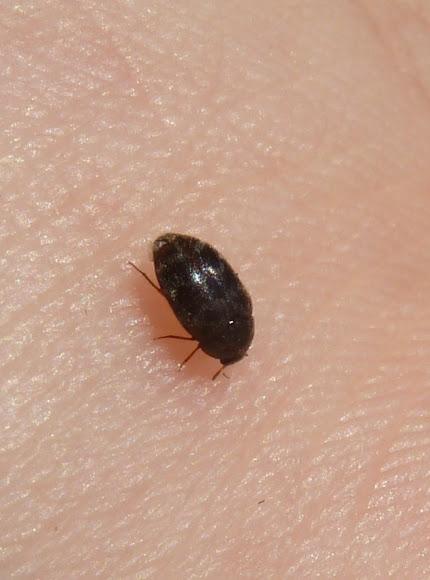 Glabrous Cabinet Beetle Project Noah