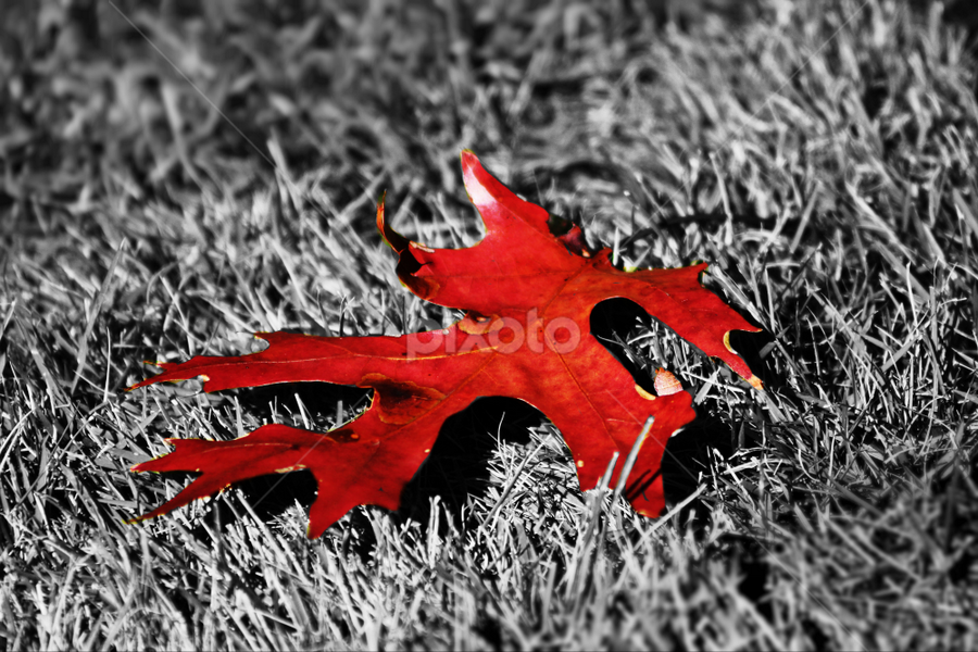 Red Maple Leaf by Darlene Lankford Honeycutt - Nature Up Close Leaves & Grasses ( fall leaves on ground, fall leaves, selective color, deez, nature up close, dl honeycutt, leaf, red maple )