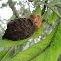 Gusano ratón (Megalopyge moth caterpillar)