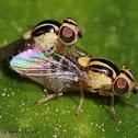 Grass Flies (Mating)
