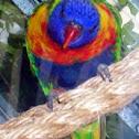 Rainbow Lorakeet