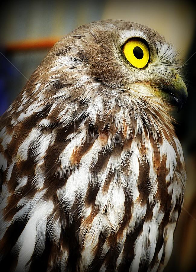 by Dino Rimantho - Animals Birds ( animals, nature, owl, birds,  )