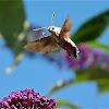 Bee Moth or Hummingbird Hawk-moth