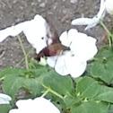 Hummingbird moth Common clearwing