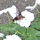 Hummingbird moth Common clearwing