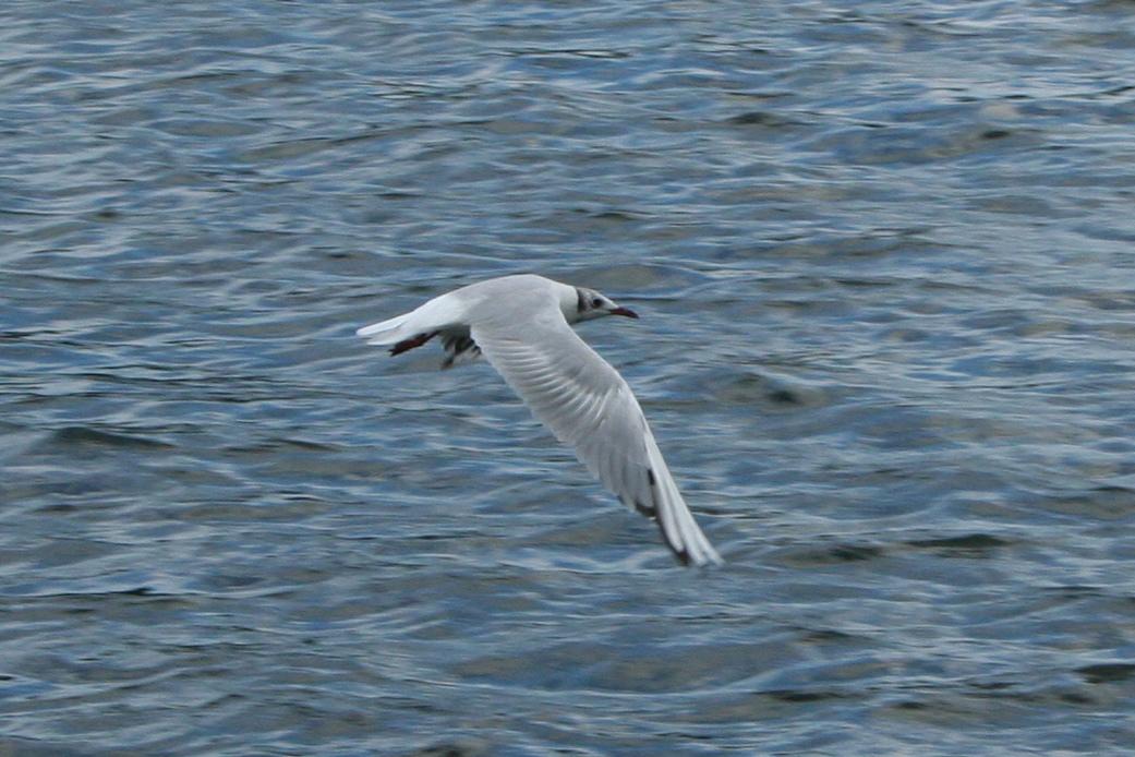 Black-headed Gull  (Lachmöwe)