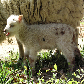 Shetland ram lamb by Norma Moore - Animals Other Mammals ( ram, lamb, shetland )