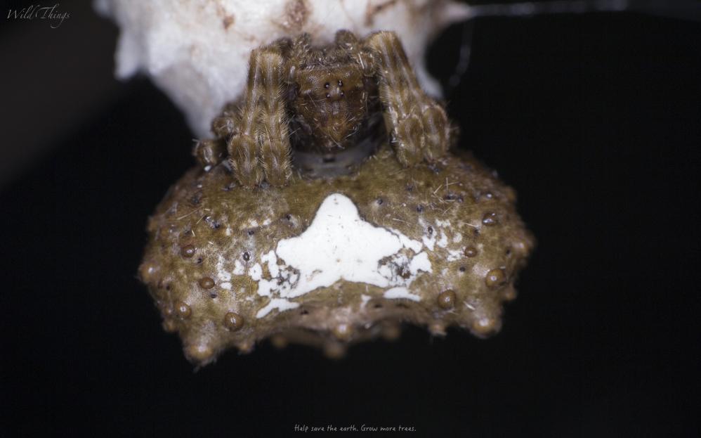 Bird dropping spider?