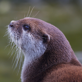 Otter 2 by John Dutton - Animals Other Mammals ( otter, pup, viewing the river, mammal, britain )