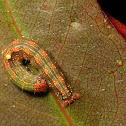 Autumn gum moth