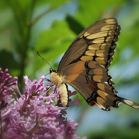 Giant Swallowtail by Liz Crono - Animals Insects & Spiders ( butterflies, insects, swallowtail )