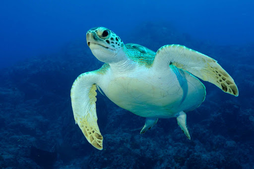 A scuba diver caught this shot of a sea turtle exploring the protected ocean reefs in St. Eustatius.