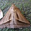 SUGARCANE LOOPER Moth
