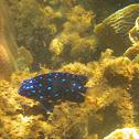 Yellowtail Damselfish (Juvenile)