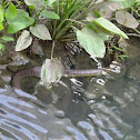 Puff-faced water snake, Masked water snake, Dog-face water snake
