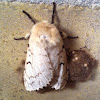 Gypsy Moth - Female