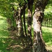 Pinot Grigio Vero