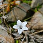 Wahlenbergia albomarginata