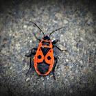 Gendarme beetle