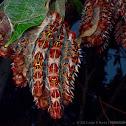 Morpho caterpillars