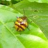 Broad-shouldered Leaf Beetle