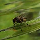 Tachinid Fly / Muha