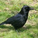 Cuervo, Common Raven